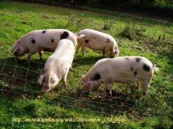 Photograph of The Burches Herd - Gloucestersire Old Spot Pigs