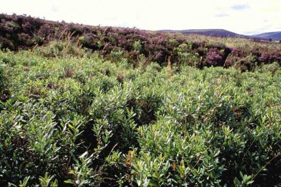 Photograph of Could Bog Myrtle Be A New Cash Crop In The North?