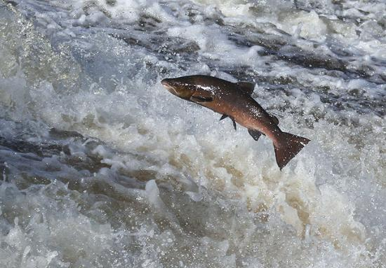 Photograph of Support For Wild Salmon